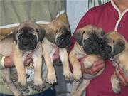 BULL MASTIFF PUPS FOR SALE.  IMPORT CHAMPION LINES. KCI PAPERS.
