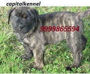 BULL MASTIFF EXCELLENT QUALITY PUPPIES  FOR  SALE @ 9999865594