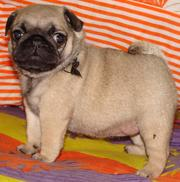 PUG EXCELLENT QUALITY PUPPIES FOR SALE @ 9999865594