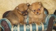 POMERANIAN EXCELLENT QUALITY PUPPIES FOR SALE @ 9999865594