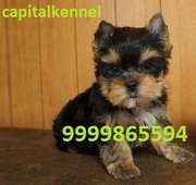 YORKSHIRE TERRIER EXCELLENT QUALITY PUPPIES FOR SALE @ 9999865594