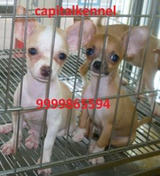 CHIHUAHUA EXCELLENT QUALITY PUPPIES  FOR  SALE @ 9999865594