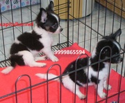 CHIHUAHUA EXCELLENT QUALITY PUPPIES  FOR  SALE