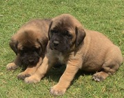 BULL MASTIFF EXCELLENT QUALITY PUPPIES  FOR  SALE