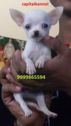 CHIHUAHUA EXCELLENT QUALITY PUPPIES  FOR  SALE ...
