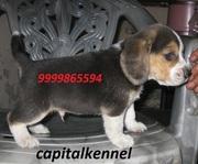 BEAGLE EXCELLENT QUALITY PUPPIE FOR SALE @ 9999865594