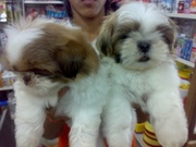 SHIH TZU  EXCELLENT QUALITY PUPPIES FOR SALE @ 9999865594