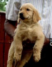 the trust kennel's ultimate quality GOLDEN RETRIVER puppies for sale..