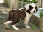 the trust kennel's ultimate quality ST.BERNARD pups available..