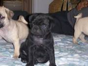 the trust kennel's PUG puppies for sale...
