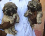 the trust kennel's stock ready now for sale HAVANESE puppies..
