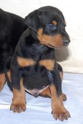 Dober pup for sale