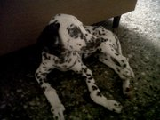 DALMATIAN PUP,  FEMALE,  2 MONTHS OLD with papers