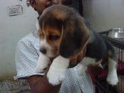 excellent quality Beagle pups for sale