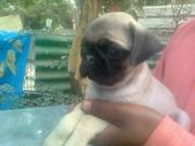 excellent quality Pug pups for sale