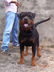 ROTTWEILER sired by in.ch rott for STUD