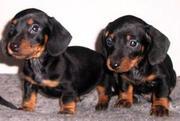 socialised dachshund pup for sael- sanatorium