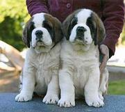 7 saint bernard PUPS ARE AVAILABLE FOR SALE IN TESTIFY KENNEL