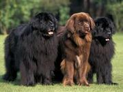 ATTRACTIVE PRICE FOR NEWFOUNDLAND PUPS IN TESTIFY KENNEL