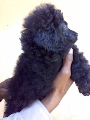 SHOW QUALITY MINI POODLE READY TO SALE OUT