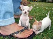 CHIHUAHUA PUPS FOR SALE IN TESTIFY KENNEL