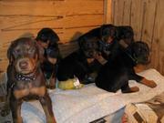 Amacing Wonderful  doberman pup for sale - 94444 07122