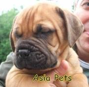 BULLMUSTIFF  Puppies  For Sale  ® 9911293906