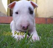 BULLTERRIER Puppies  For Sale  ® 9911293906