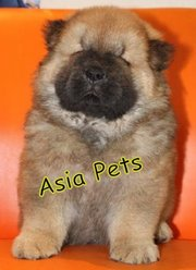 CHOW CHOW Puppies  For Sale  ® 9911293906