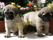 English Mustiff     Puppies  For Sale  ® 9911293906