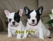 French Bulldog   Puppies  For Sale  ® 9911293906