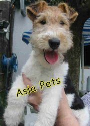 Fox Terrier   Puppies  For Sale  ® 9911293906