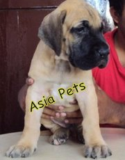 GREAT DANE   Puppies  For Sale  ® 9911293906