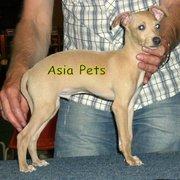 GREYHOUND   Puppies  For Sale  ® 9911293906