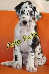 HARLEQUIN GREAT DANE    Puppies  For Sale  ® 9911293906