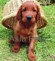 IRISH SETTER Puppies  For Sale  ® 9911293906