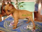 MINIATURE PINSCHER  Puppies  For Sale  ® 9911293906