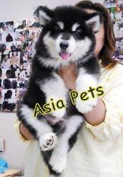 ALASKAN MALAMUTE Puppies  For Sale  ® 9911293906