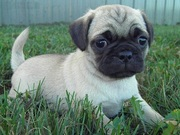 PUG PUPPIES FOR SALE  @ ANSHUKENNEL