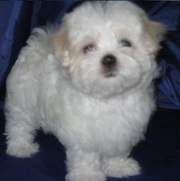 MALTESE PUPPIES FOR SALE  @ ANSHUKENNEL