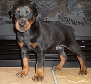 DOBERMAN PUPPIES FOR SALE  @ ANSHUKENNEL