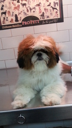 excellent quality ShihTzu for sale