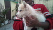 excellent quality husky pups for sale