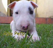 BULLTERRIER PUPPIES  FOR SALE  9555944924