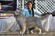 show quality golden retriver puppies in assam