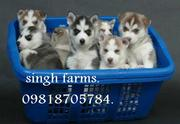 Siberian Husky pups for sale.Import champion parentage. kci papers .-.