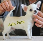 CHIHUAHUA PUPPIES FOR SALE ARYAN KENNEL - 9555944924