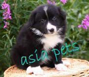 Collie PUPPIES FOR SALE ARYAN KENNEL - 9555944924