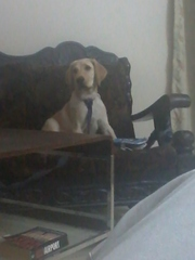 Available male  labrador  for free adoption age 7 month