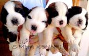 St.bernard for sale Comes from a very good show quality bloodline